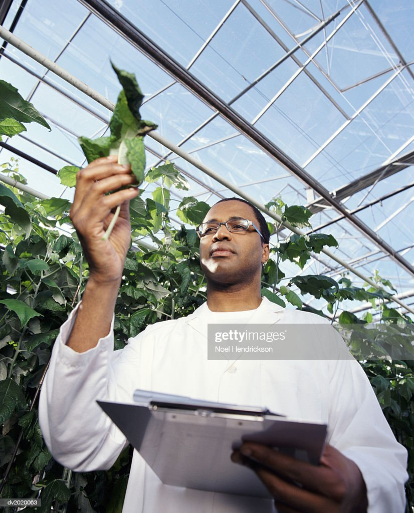 Scientist Inspecting a Leaf in a Greenhouse : Stock Photo