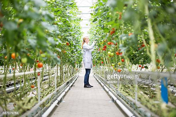 scientist inspecting tomatoes in greenhouse - science stock pictures, royalty-free photos & images