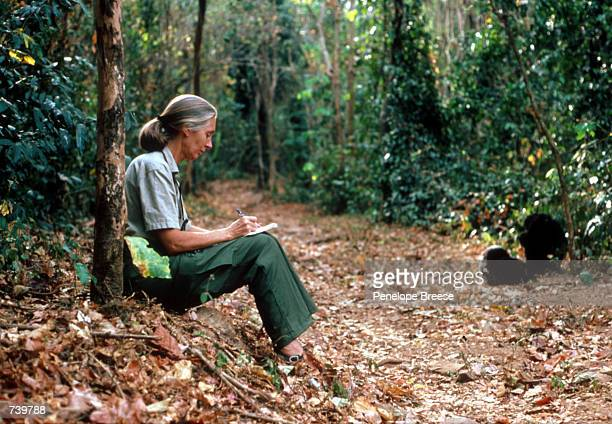 Scientist Jane Goodall studies the behavior of a chimpanzee during her research February 15 1987 in Tanzania