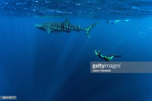A scientist photographs Whale Shark genitals for marine research.