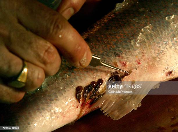A scientist removing a specimen of sealice from a wild salmon captured at Strathy salmon netting station The scientist was from the University of St...