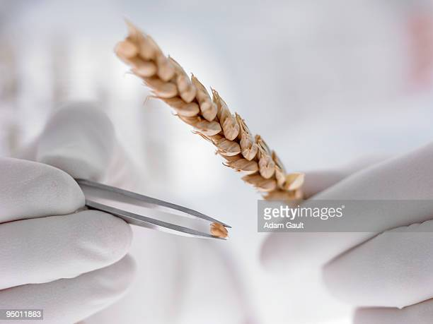 Scientist removing grain from wheat stem with tweezers