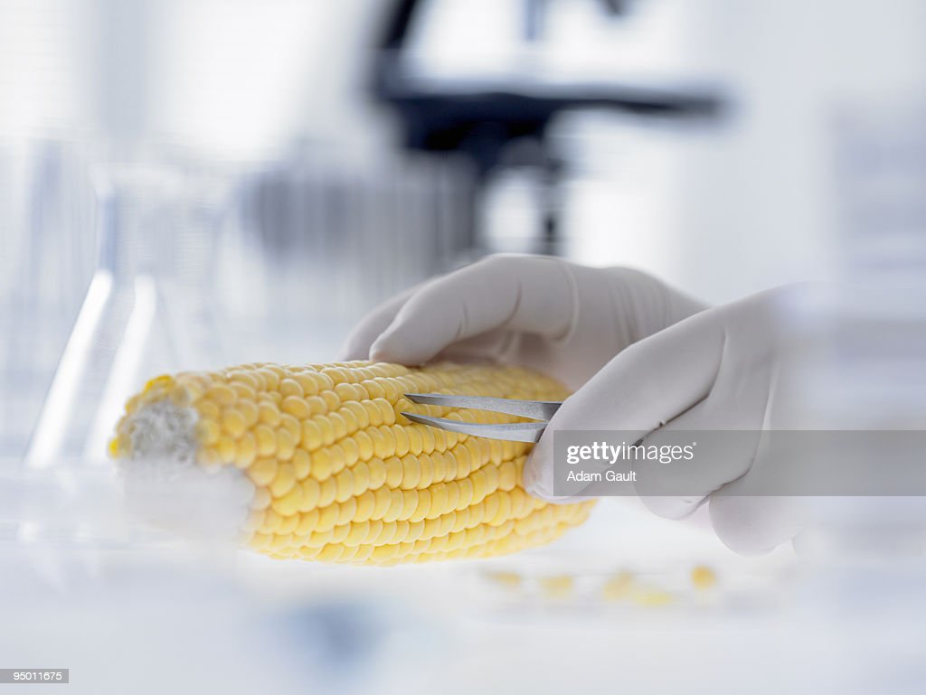 Scientist removing kernels from corn on the cob : Stock Photo