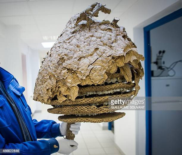 A scientist shows half of a Asian Hornet nest without its envelope on September 30 2014 at the Research Institute of Biology of the Insect in Tours...