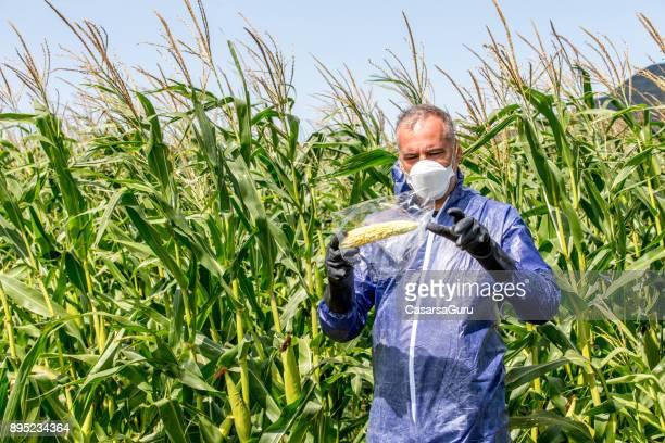 Scientist Taking a Sample of Corn Crop