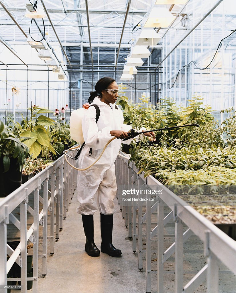 Scientist Treating Plants with Pesticide in a Greenhouse : Stock Photo