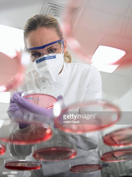 scientist using inoculating loop on petri dish - scienziata foto e immagini stock