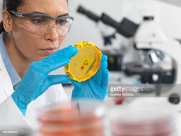 Scientist viewing cultures growing in petri dishes with a biohazard tape on in a microbiology lab
