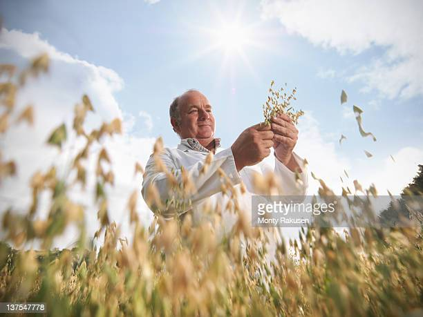 Scientist with oats (Avena sativa) in field