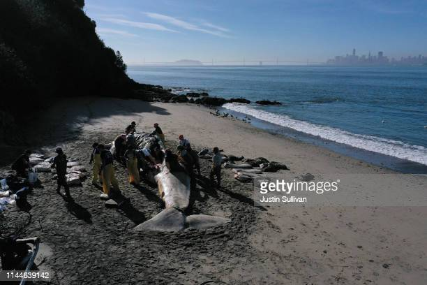 Scientists and volunteers with the Marine Mammal Center and California Academy of Sciences perform a necropsy on a beached grey whale on April 23...