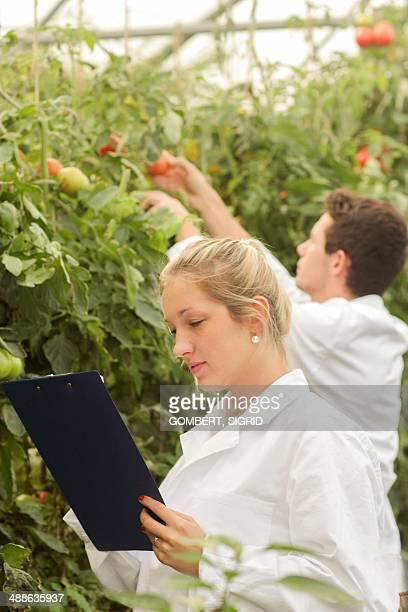 scientists examining tomatoes - sigrid gombert - fotografias e filmes do acervo