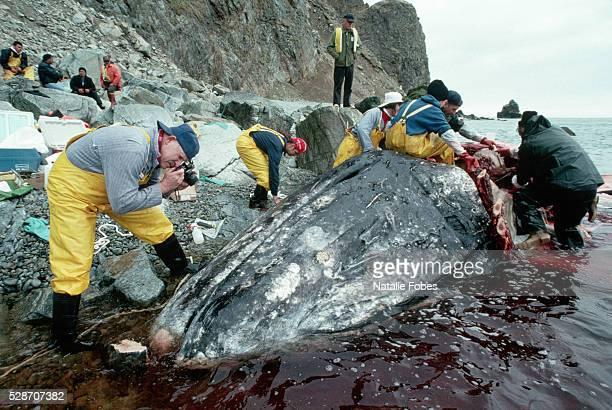 scientists inspecting gray whale - autopsie photos et images de collection