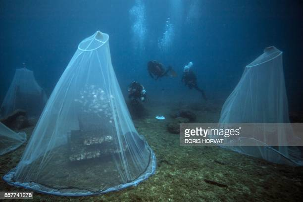 TOPSHOT Scientists prepare to release young fish near a 'Biohut' artificial habitat allowing young fish to take refuge to escape predators on October...