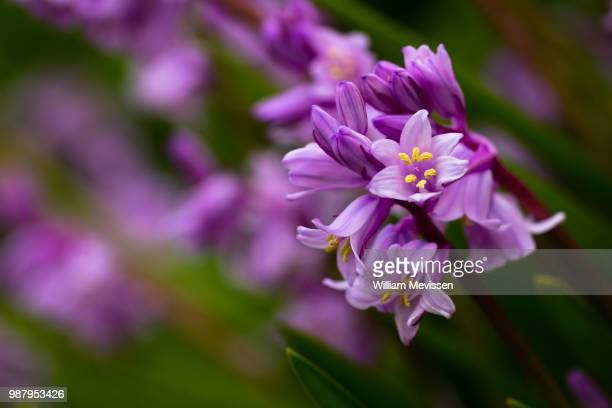 scilla campanulata - william mevissen stock pictures, royalty-free photos & images