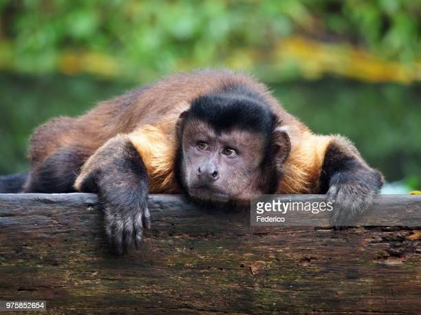 scimmia 2 - mono capuchino fotografías e imágenes de stock