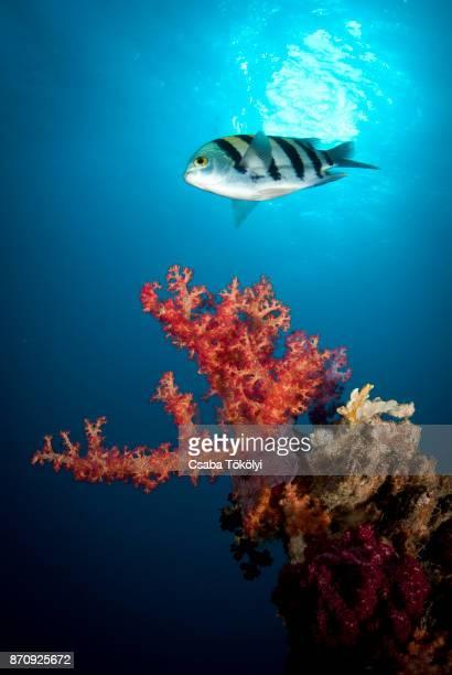 Scissortail sergant fish