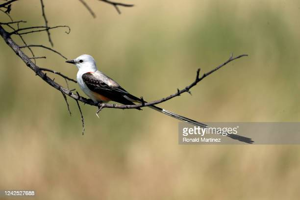 A scissortailed flycatcher bird sits on a tree branch during the first round of the Energy Producers Inc Texas Women's Open on June 02 2020 in The...