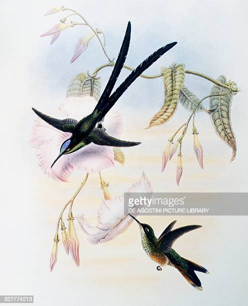 Scissortailed Hummingbird engraving from A Monograph of the Trochilidae or Humming Birds by John Gould United Kingdom 19th century