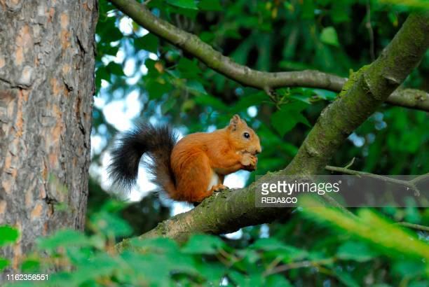 Sciurus vulgaris. Red Squirrel.