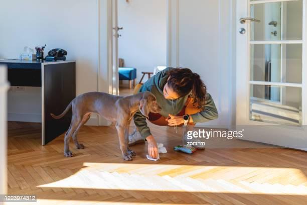 rimproverando il suo cucciolo per aver fatto pipì sul pavimento del parquet - penalty foto e immagini stock