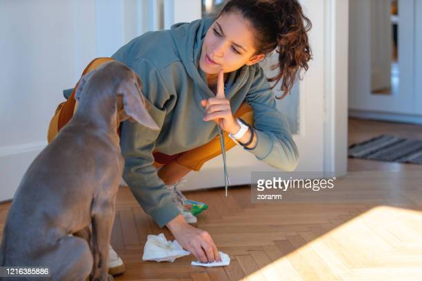 scolding her weimar puppy for peeing on the floor - urinating stock pictures, royalty-free photos & images