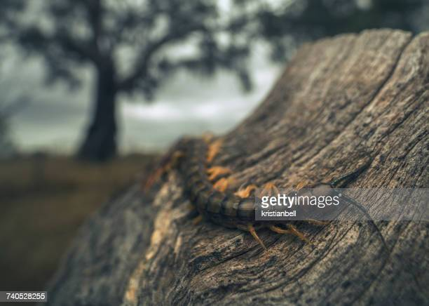 scolopendra centipede (cormocephalus aurantiipes) on wooden post, mulwala, new south wales, australia - centipede stock pictures, royalty-free photos & images