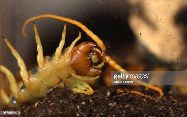 TORONTO ON JUNE 5 Scolopendra heros also known as the giant desert centipede A look behindthescenes at the Royal Ontario Museums Live Room and...