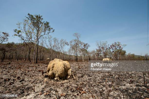 Scorched woodland and termite nests after bush fire, south of Cairns, Queensland, Australia.