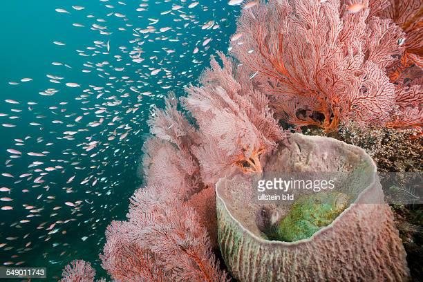 Scorpianfish inside Barrel Sponge, Scorpaenopsis oxycephalus, Xestospongia testudinaria, Amed, Bali, Indonesia