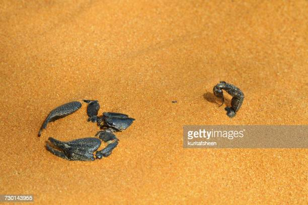 Scorpion buried in the sand, Indonesia