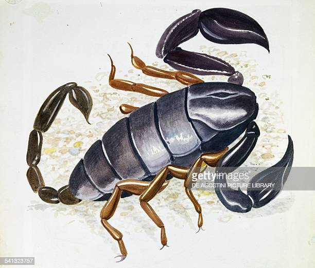 Scorpion drawing