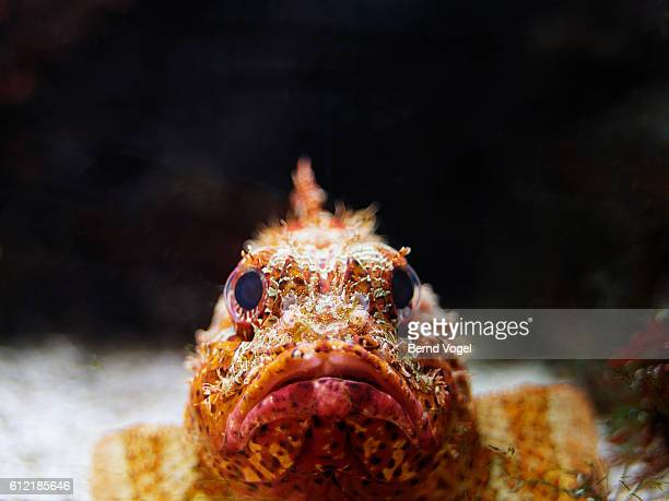 scorpion fish - ugly lips stock photos and pictures