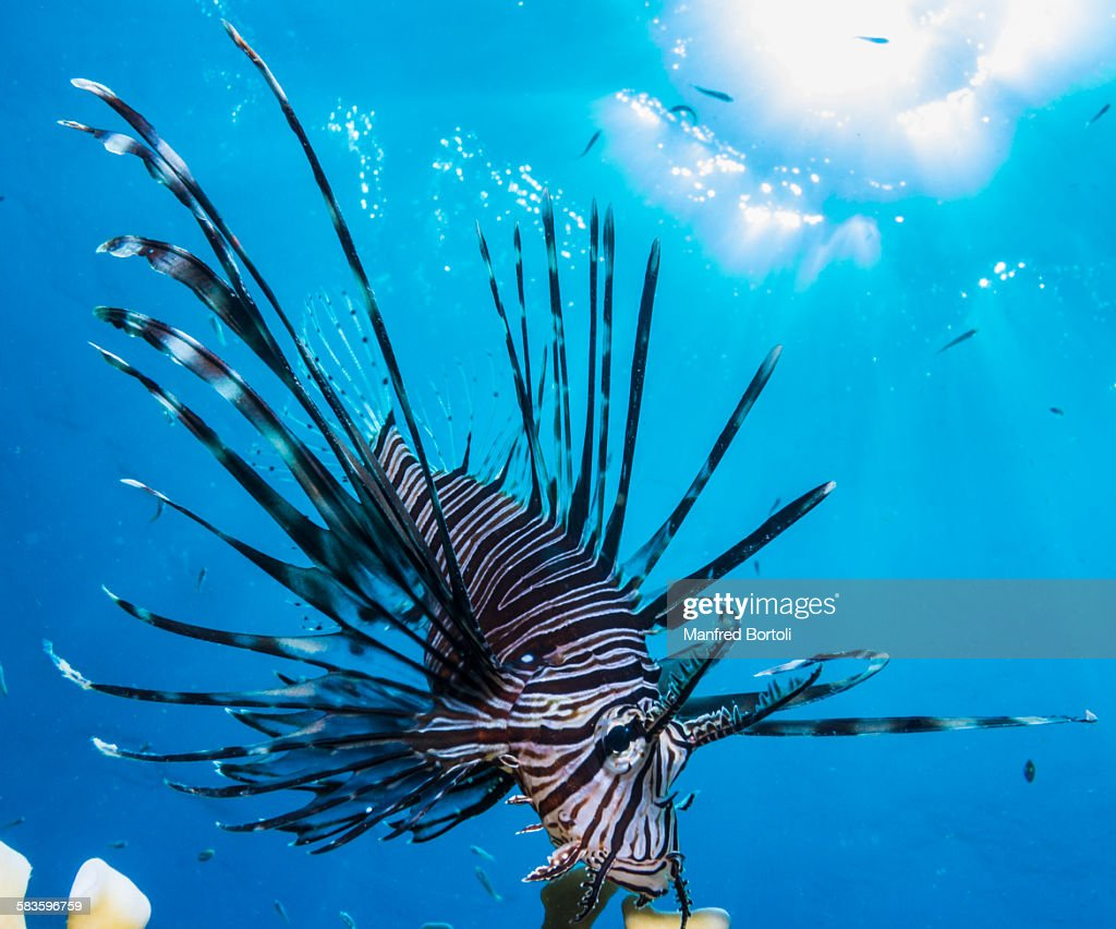Scorpion fish (Pterois Volitans) with sun rays : Stock Photo