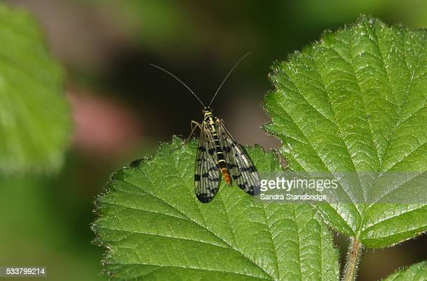 scorpion fly female (panorpa communis). - hertford hertfordshire stock pictures, royalty-free photos & images
