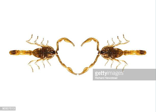 scorpion love - two animals stock pictures, royalty-free photos & images