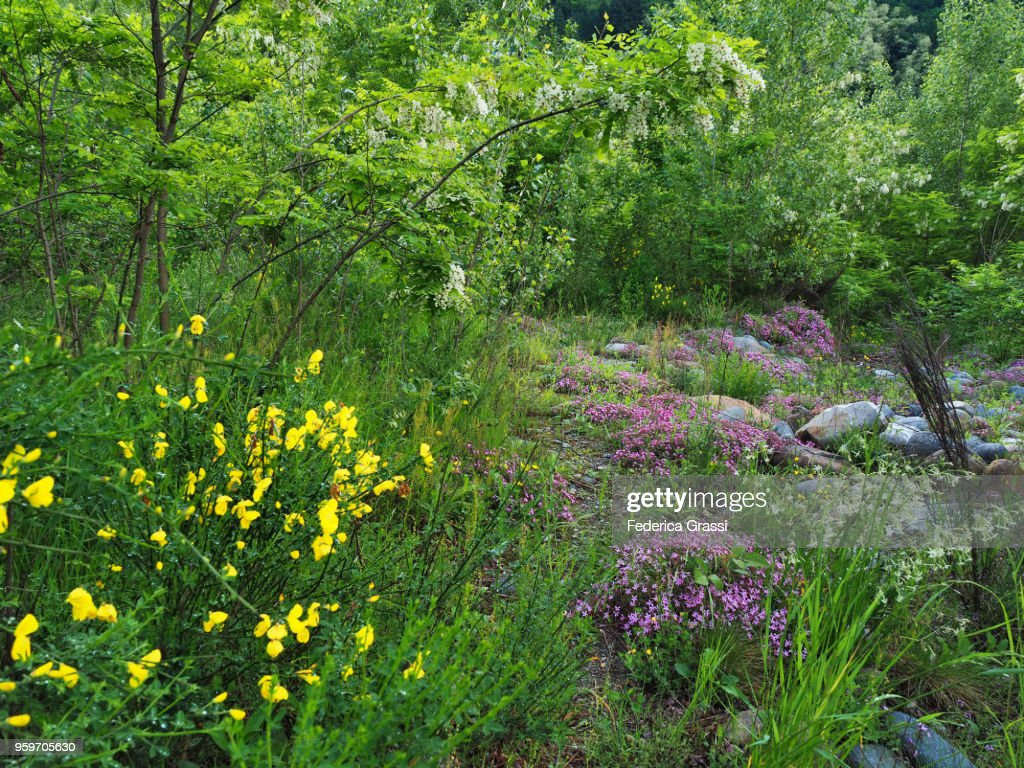 Scotch Broom, Rock Soapwort and Robinia Pseudoacacia : Stock-Foto