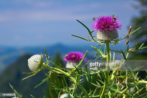 Scotch Distel flowerhead