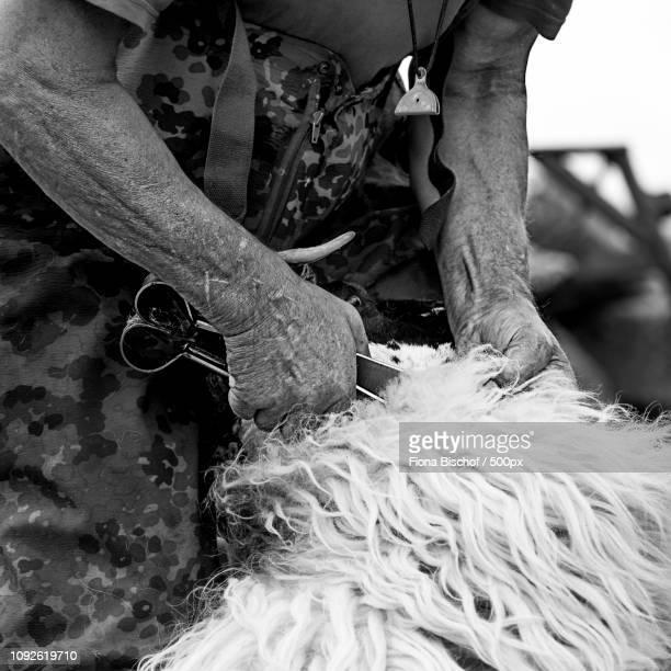 Scotish Crafter shearing sheep