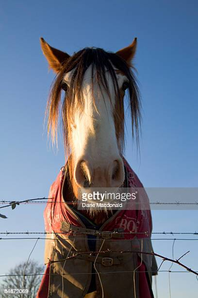 Scotland, close-up of a Clydesdale horse