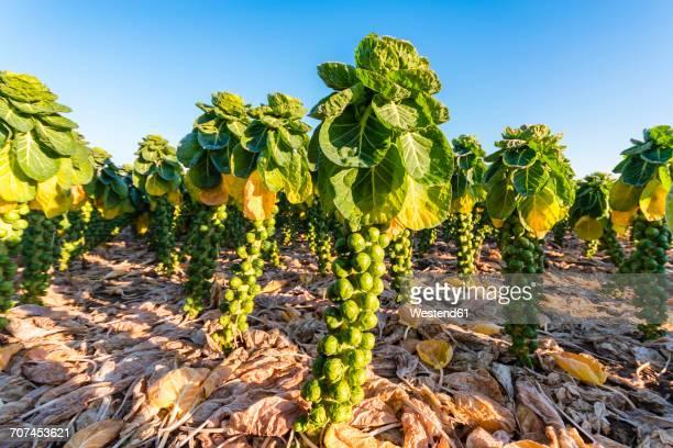 uk, scotland, east lothian, brussels sprout field - 芽キャベツ ストックフォトと画像