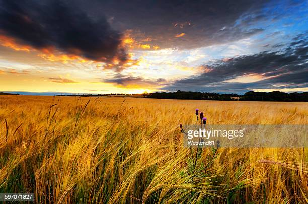 Scotland, East Lothian, Field of barley and thistle at sunset