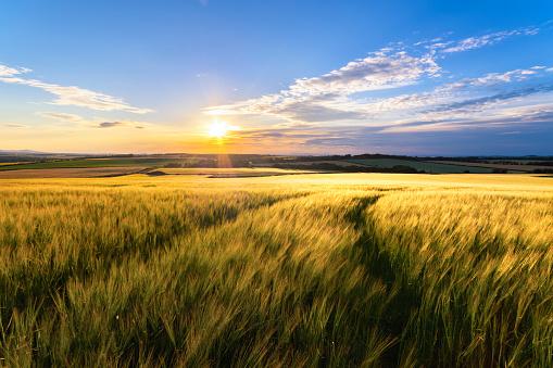 UK, Scotland, East Lothian, field of wheat at sunset - gettyimageskorea