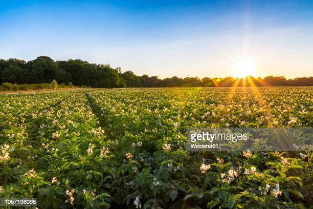 UK, Scotland, East Lothian, potato field at sunset