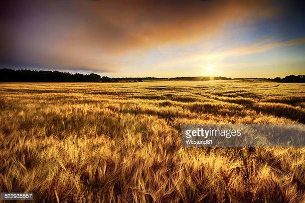Scotland, East Lothian, sunrise over barley field