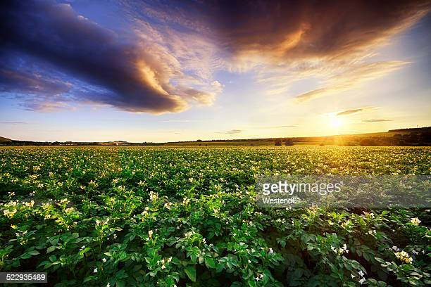 Scotland, East Lothian, sunset over potato field