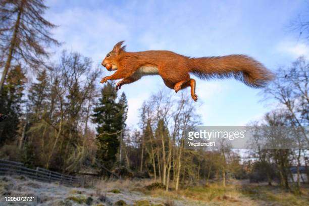 uk, scotland, eurasian red squirrel(sciurusvulgaris)mid-jump - eurasian red squirrel stock pictures, royalty-free photos & images