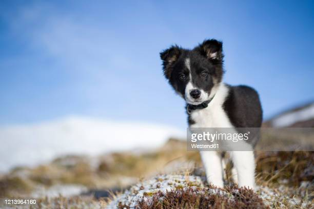scotland, genshee, portrait of border collie puppy - young animal stock pictures, royalty-free photos & images