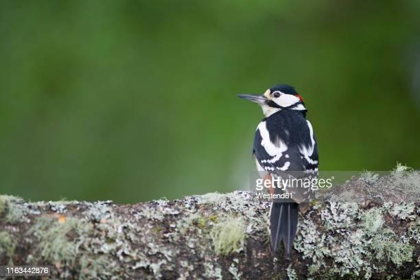 scotland, great spotted woodpecker perching on tree trunk - pica pau malhado grande - fotografias e filmes do acervo