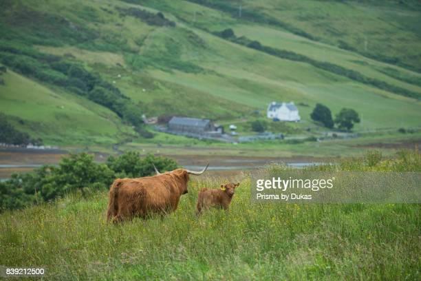 Scotland, Hebrides archipelago, Isle of Skye, Bos taurus, Highland cattle.