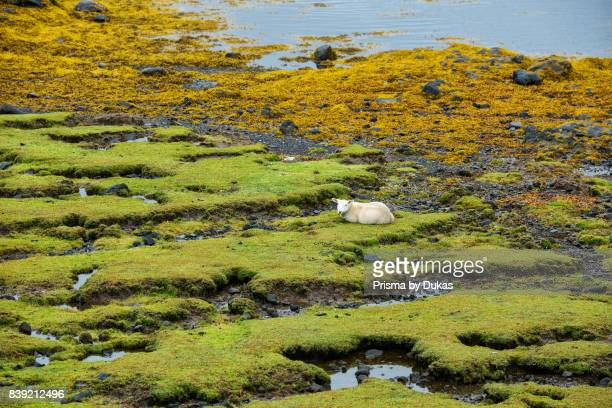 Scotland, Hebrides archipelago, Isle of Skye, sheep on beach.